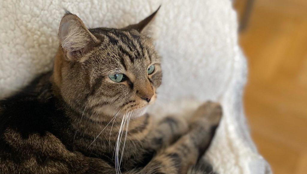 Rouki, un beau chat tigré aux yeux gris-verts