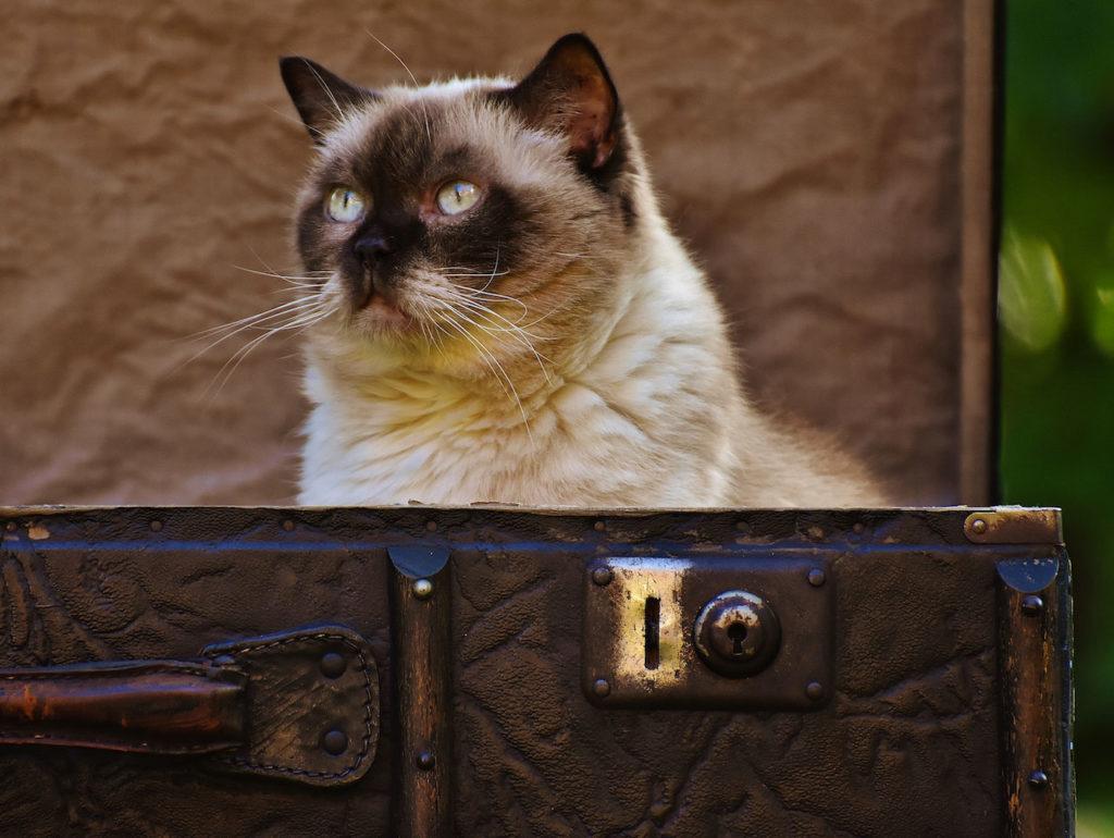 Chat siamois assis dans un coffre ouvert